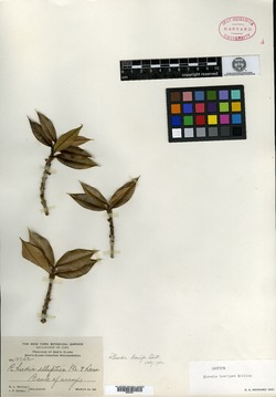 Image of Garcinia clarensis
