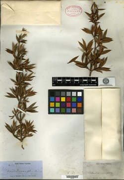 Garcinia ruscifolia image