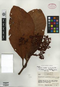 Chrysochlamys grandifolia image