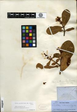 Image of Tovomita clusioides