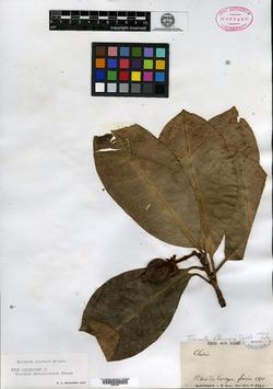 Image of Tovomita plumieri