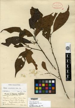 Sloanea meianthera image