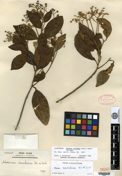 Sloanea caribaea image