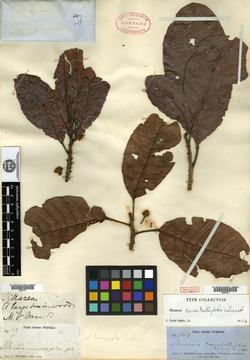 Sloanea curatellifolia image