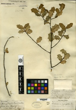 Casearia aquifolia image