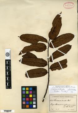 Image of Casearia bicolor