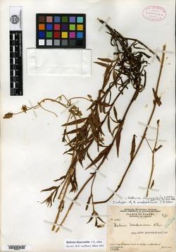 Halenia rhyacophila image