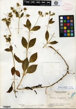 Halenia euryphylla image