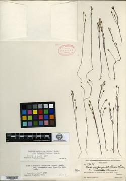 Bartonia paniculata image