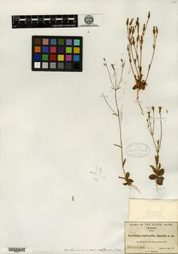 Image of Erythraea nudicaulis