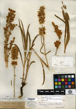 Swertia columbiana image