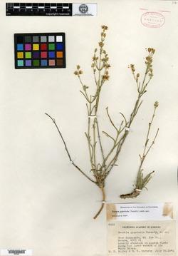 Swertia gypsicola image