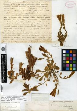 Gentiana newberryi image
