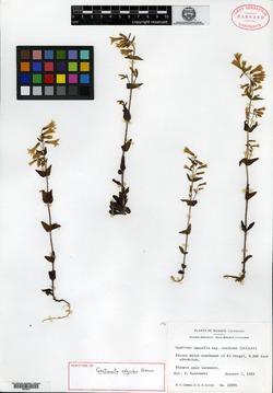 Image of Gentianella calycidon