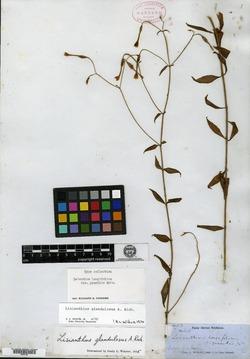 Image of Lisianthus longifolius
