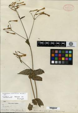Image of Lisianthus silenifolius