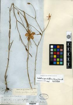 Sabatia gracilis image