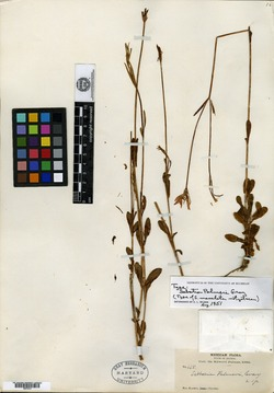 Image of Sabatia palmeri