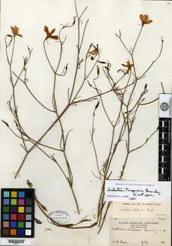 Image of Sabatia purpusii