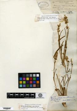 Image of Swertia watsonii