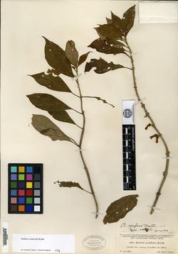 Besleria solanoides image