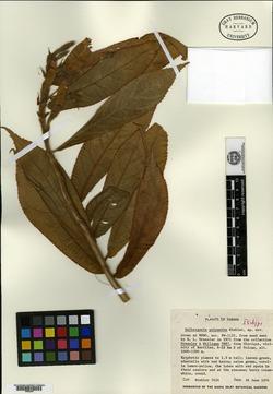 Columnea polyantha image
