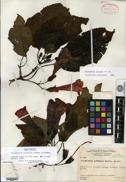 Solenophora calycosa image