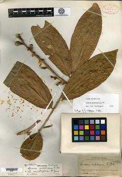 Guarea grandifolia image