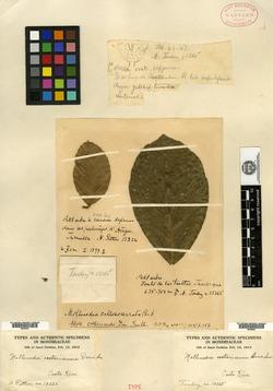 Mollinedia costaricensis image