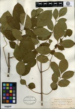 Image of Fraxinus rehderiana