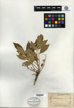 Image of Fraxinus attenuata