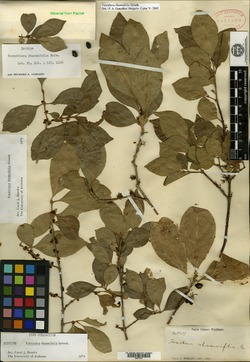 Image of Forestiera rhamnifolia