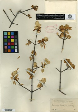 Image of Fraxinus potosina