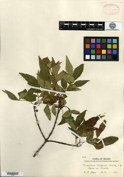 Image of Fraxinus purpusii