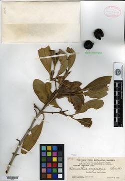 Image of Amarolea megacarpa