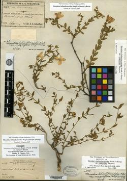 Image of Menodora magniflora