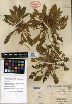 Image of Oenothera bufonis