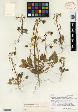 Image of Oenothera cruciformis