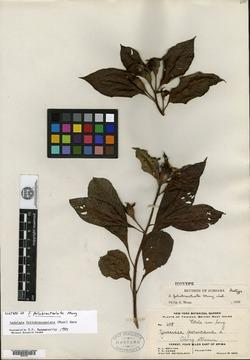 Image of Ludwigia foliobracteolata