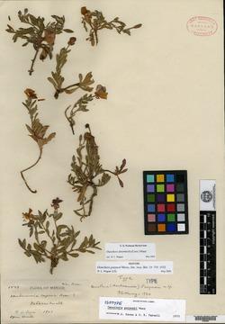 Image of Oenothera deserticola