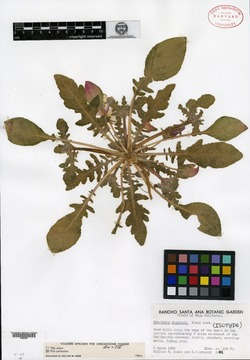 Image of Oenothera wigginsii