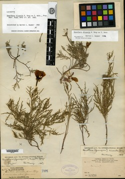Image of Oenothera dissecta