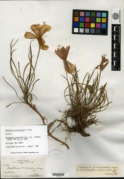 Image of Lavauxia graminifolia
