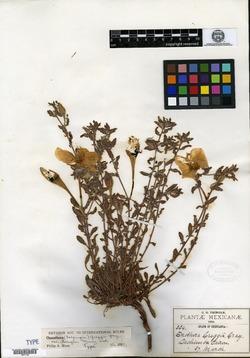 Image of Oenothera pringlei