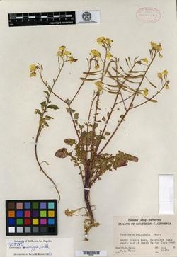 Image of Oenothera munzii