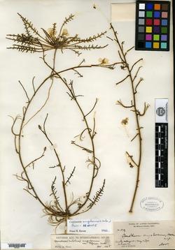 Image of Eulobus angelorum