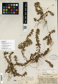 Image of Ludwigia lacustris