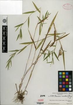 Image of Panicum mundum