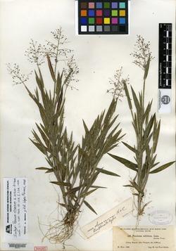 Image of Panicum olivaceum