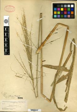 Zizania palustris image